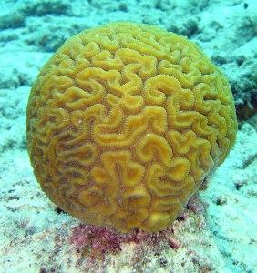Brain_coral