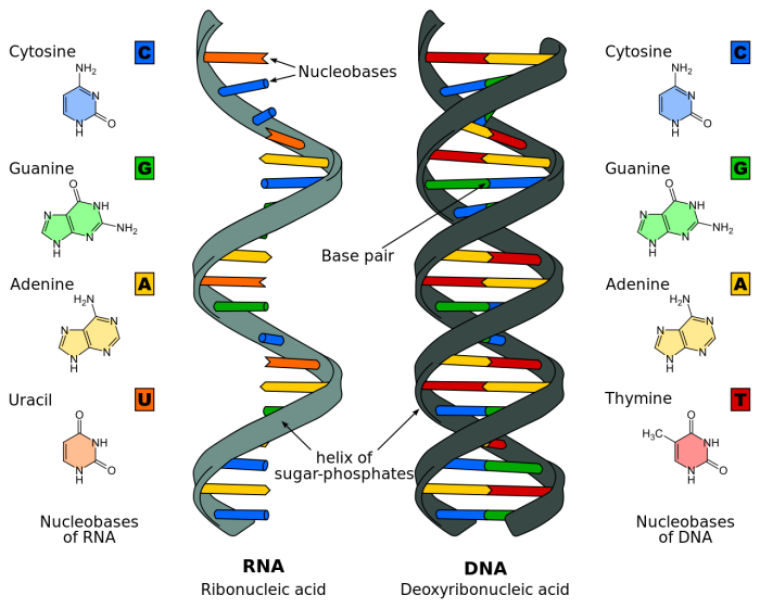 1280px-Difference_DNA_RNA-EN
