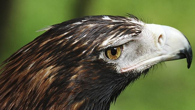 wedge-tailed eagle - world's acutest eyes