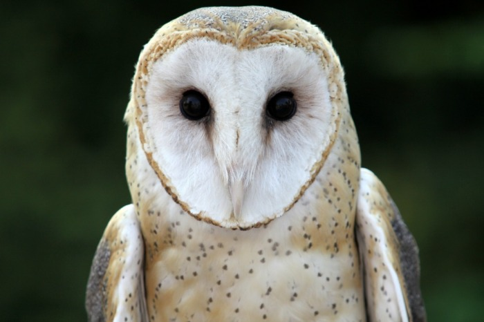face of a barn owl - 'one cannot help thinking of a sound-collecting device, quoth researcher Masakazu Konishi