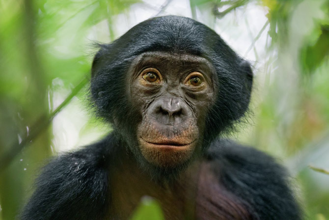 I think I'd rather be a bonobo