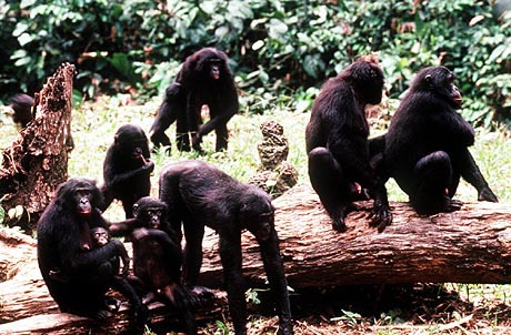 SLUG; BONOBOS SCIENCE TIMES A BONOBO FAMILY IN A FOREST CLEARING IN WAMBA, ZAIRE. CREDIT: 1996 FRANS LANTING END CURRENT IMAGE 9700023PhotoOWNFREELANCE Photo Caption: Date: 01/01/97 Headline: RETURN NEGS Assignment Caption:RETURN NEGS TO EDITOR/PHOTOG....01/01/97 - 12/31/97 Photographer: FREELANCE Sack Number: 9700023 Reporter: Slug: OWN Desk: Photo Start: 0223 Until: Change Time: False City: State: Country: Location: Contact: Contact Phone: Reporter There?: False Editor: Photo Editor Date Wanted: 01/01/97 Time Wanted: ASAP Summary: Photographer Type: 2 Shot?: False Number of Rolls: 0 Scanned?: 0 Handouts: False Notes: Clean?: False Assignment: 970101028A Record No: 78654