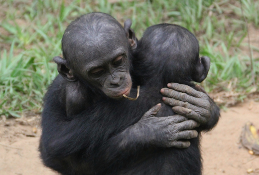 bonobo relations - more than just sex