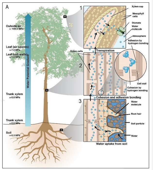 How Do Plants Transport Water Part 1 Xylem